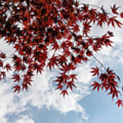 Japanese Maple Red Lace - Horizontal View Downwards Right Art Print