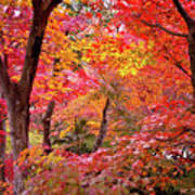 Japanese Maple Trees Print by I love Photo and Apple.