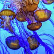Japanese Sea Nettles Art Print