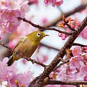 Japanese White-eye On Cherry Blossoms Art Print by David A. LaSpina