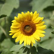 Jarrettsville Sunflowers - The Star Of The Show Art Print