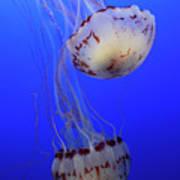 Jellyfish 1 Art Print