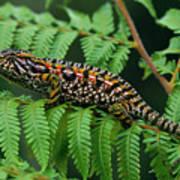 Jeweled Chameleon Furcifer Lateralis Art Print