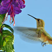 Jeweled Rufous In Afternoon Light Art Print