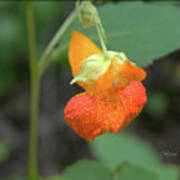 Jewelweed Art Print