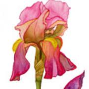 Jody's Iris Art Print