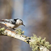 Jump - White-breasted Nuthatch Art Print