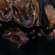 Just Hanging Around - Bats Art Print