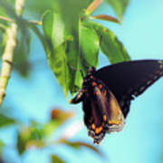 Just Hanging Out - Red-spotted Purple Butterfly Art Print