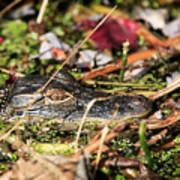 Juvenile American Alligator Art Print