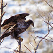 Juvenile Eagle Taking Off   Art Print