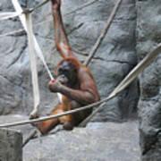 Juvenile Orangutan Art Print