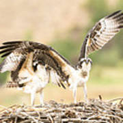 Juvenile Osprey Testing Their Wings Art Print