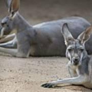 Kangaroo Relaxing On Ground In The Sun Art Print