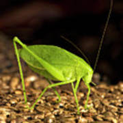 Katydid Close Up Bug Art Print
