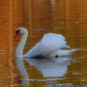 Kensingtons Swan 1  Art Print
