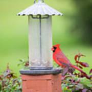 Kentucky Cardinal  Art Print