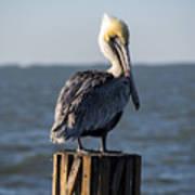 Key Largo Florida Yellow Headed Pelican Art Print