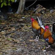 Key West Chickens Art Print