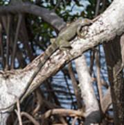 Key West Iguana In Mangrove 3 Art Print