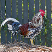 Key West Rooster 2 Art Print