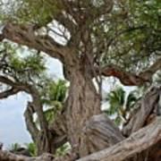 Kiawe Tree Art Print