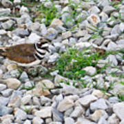 Killdeer 1 Art Print by Douglas Barnett