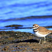 Killdeer . 40d4101 Art Print