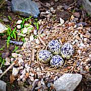 Killdeer Nest Art Print