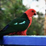 King Of The Parrots Art Print