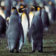 King Penguins Volunteer Point Falkland Islands Art Print