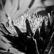 King Protea Exotic Tropical Flowers Art Print