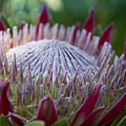 King Protea Island Flowers Jewel Of The Garden Art Print