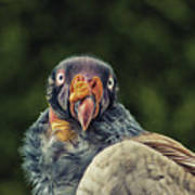 King Vulture Art Print