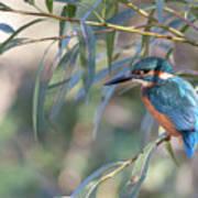 Kingfisher In Willow Art Print