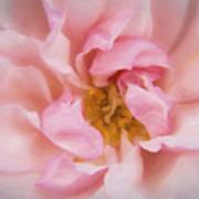 Kinsale Rose Art Print