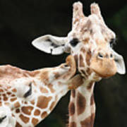 Kissing Giraffes Art Print by Buck Forester