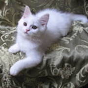 Kitten Snow White Silky Fur Art Print