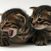 Kittens  Art Print