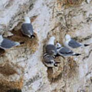 Kittiwakes Tend Their Chicks At Rspb Bempton Cliffs Art Print