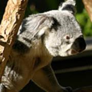 Koala Bear 2 Art Print