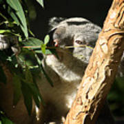 Koala Bear 3 Art Print