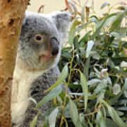 Koala Bear I Art Print