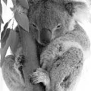 Koala Bear Art Print by Terry Burgess