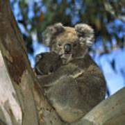 Koala Phascolarctos Cinereus Mother Art Print