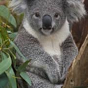 Koala Phascolarctos Cinereus Art Print by Zssd