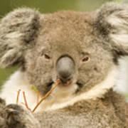 Koala Snack Art Print by Mike  Dawson
