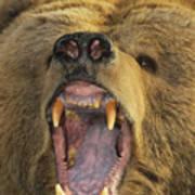 Kodiak Bear Ursus Arctos Middendorffi Art Print
