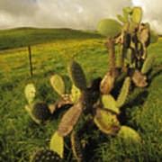 Kohala Cactus Art Print