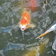 Koi And Great Blue Heron Art Print